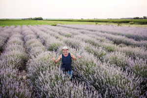 Man harvesting blooming flowers of Lavender with sickle.